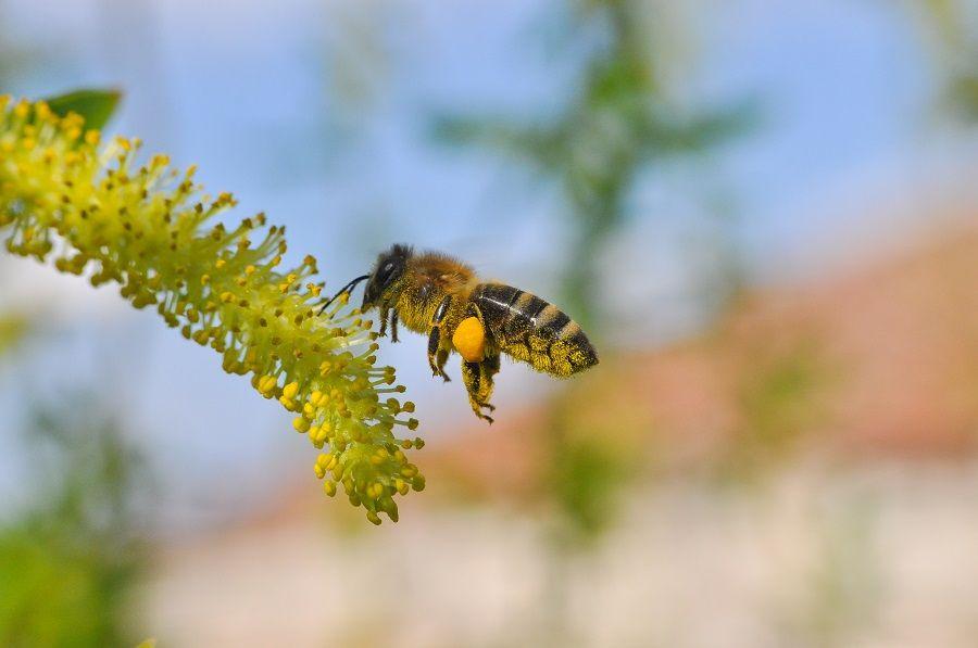 Imagem de uma abelha coletando pólen de uma flor.